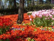 Asortowani tulipany Zdjęcia Royalty Free