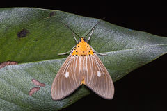 Asota caricae moth on green leaf Royalty Free Stock Images