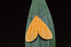 Asota egens moth on green leaf Stock Photos