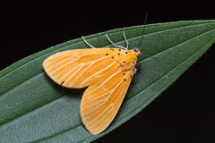 Asota egens moth on green leaf Stock Image