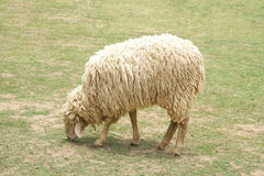 łasowania trawy zieleni cakle Zdjęcie Royalty Free