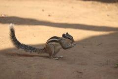 Łasowania wiewiórczy jedzenie zdjęcie royalty free