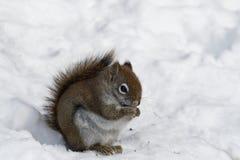łasowania ziaren wiewiórki miastowa przyroda Zdjęcia Stock