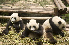 łasowanie bambusowa panda Fotografia Royalty Free