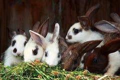 łasowanie króliki Obrazy Stock