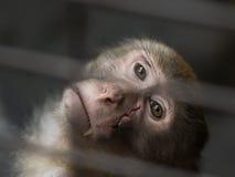 Łasowanie makaka blizny twarz Zdjęcia Stock