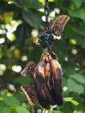 Łasowanie motyle Zdjęcie Stock