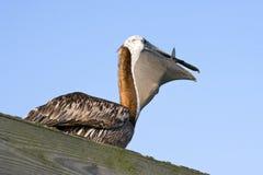 łasowanie pelikan Fotografia Royalty Free
