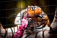 łasowanie tygrys Fotografia Royalty Free
