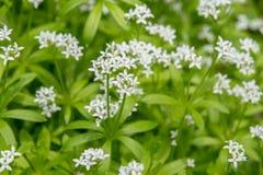 Aspérula na flor Fotos de Stock