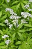 Aspérula na flor Imagens de Stock
