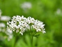 Aspérula, odoratum do galium Foto de Stock