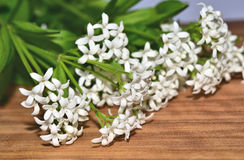 Aspérula, odoratum do galium Foto de Stock Royalty Free
