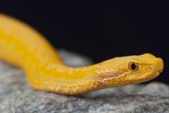 Asp蛇蝎,白变种/蝰蛇属盾状区 库存图片