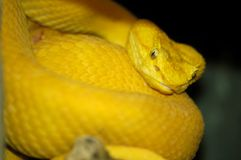 Asp. A yellow snake with shallow depth of field to enhance the facial features.  Resub with levels fixed Royalty Free Stock Image