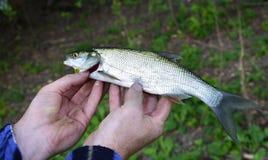 Asp (Aspius aspius) Fish in hand fisherman closeup Stock Photo
