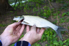 Asp (Aspius aspius) Fish in hand fisherman closeup.  Stock Photo