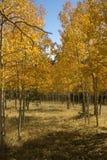 asp- colorado fält Arkivfoton