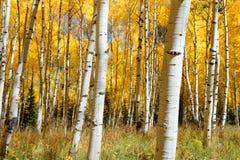 Asp- färg för trädnedgånglövverk i Colorado Royaltyfri Bild
