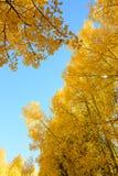 Asp- färg för trädnedgånglövverk i Colorado Royaltyfri Foto