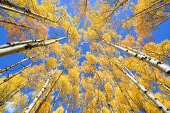 Asp- färg för trädnedgånglövverk i Colorado Arkivbild