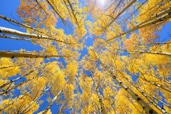 Asp- färg för trädnedgånglövverk i Colorado Arkivfoton