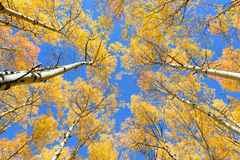 Asp- färg för trädnedgånglövverk i Colorado Arkivbilder