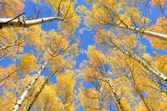 Asp- färg för trädnedgånglövverk i Colorado Royaltyfria Foton