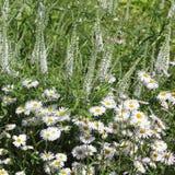 Asp- fleabane, Erigeronspeciosus Sommerneuschnee Arkivfoton