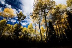 asp- guld- fallskog Royaltyfri Foto