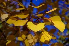 asp- guld- leaves Arkivbild