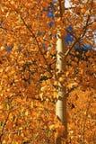 asp- guld- leaves Royaltyfri Foto