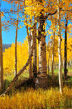 asp- guld- trees Royaltyfri Bild