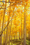 asp- guld- trees Royaltyfri Fotografi