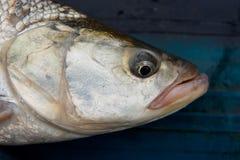 Asp head close-up. Asp fish's head close-up Stock Photo