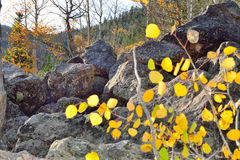 Asp i alpin skog Royaltyfria Bilder