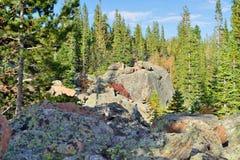 Asp i alpin skog Arkivfoton