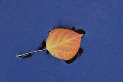 asp- leaf Arkivbild