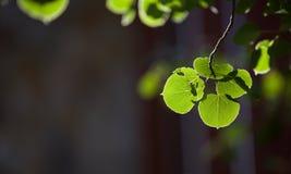 asp- leaf Royaltyfria Foton