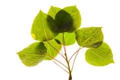 asp- leafgruvarbetare Royaltyfria Foton