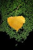 asp- leafyellow Royaltyfria Foton