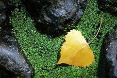 asp- leafyellow Arkivfoto