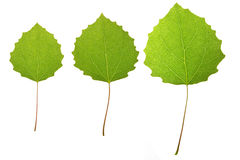asp- leaves Arkivbild
