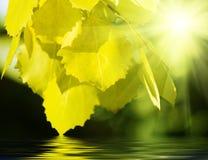 asp- leaves arkivfoton