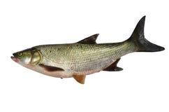 Freshwater predatory fish rotan isolated perccottus for White amur fish