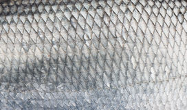 Asp scales. Asp fish scales, natural texture Royalty Free Stock Photography
