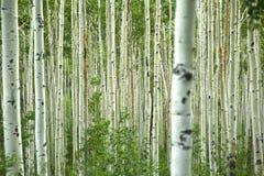 Asp- skog Royaltyfria Foton