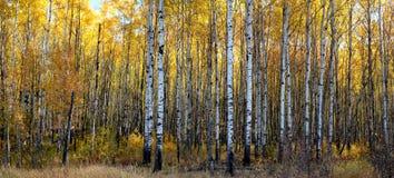 Asp- skog Royaltyfri Fotografi