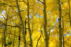 Asp- skog Royaltyfri Foto