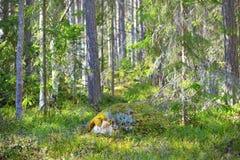 Asp- skog i den tidiga våren i Estland Arkivfoton